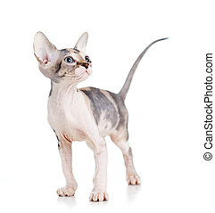 sphynx kitten isolated