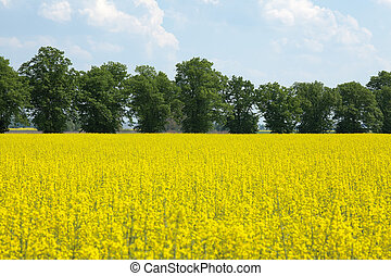 rape flower at field - blooming oilseed rape at field with...