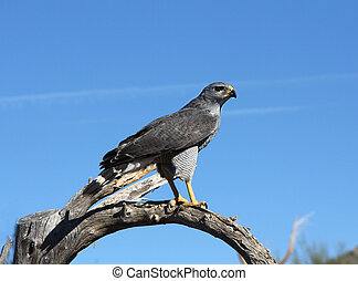 Gray Hawk in the Southwest desert perched on a branch