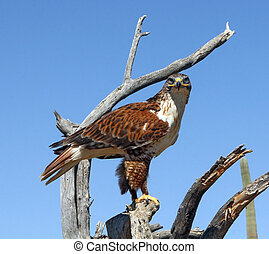 ferruginous hawk - Ferruginous Hawk in the southwest desert