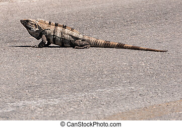 Iguana in the middle of the road in Mexico Isla Mujeres Caribbean island paradise on Yucatan. Iguanas roam the island like they own the place and this one just crossed the road.