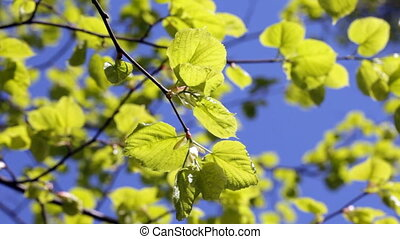 Green leaves against the blue sky