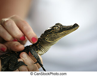 Touching Baby alligator