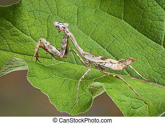 Budwing mantis on leaf - A female budwing mantis is climbing...