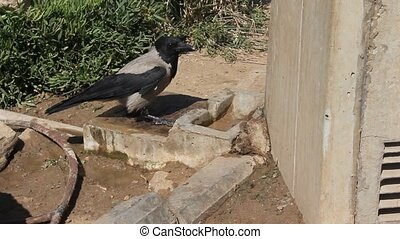 Crows drink water near the drinking fountain at the beach