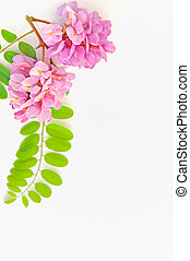 acacia, rosa, flowers-, Robinia, hispida