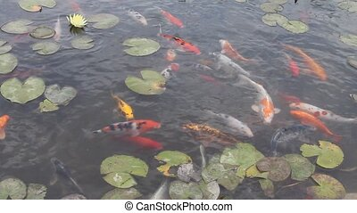Asian carp in water pond