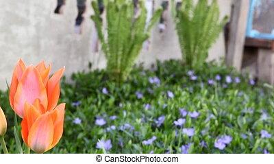 tulip - red tulip
