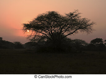 Thorn Tree At Dawn