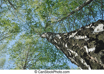 The trunk of birch