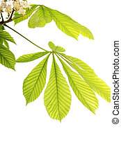 Fresh chestnut leafs