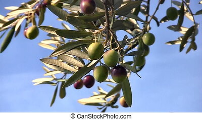 Olive fruits close up - Olive fruits on tree close up