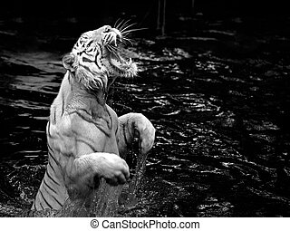 White tiger - Black and white picture of a white tiger...