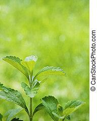 stevia, rebaudiana, rama, cierre, Arriba, encima, verde,...