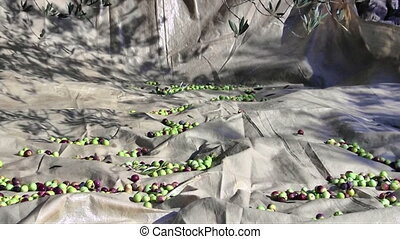 Olive fruits on the ground