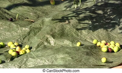 Olive fruits falling to the ground