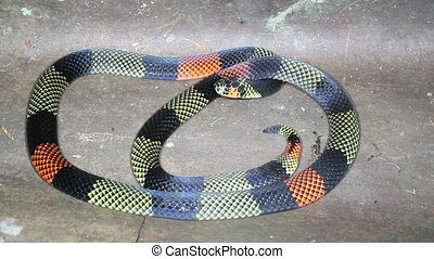 Amazonian Coral Snake (Micrurus sp - A venomous species...