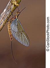 mayfly may fly