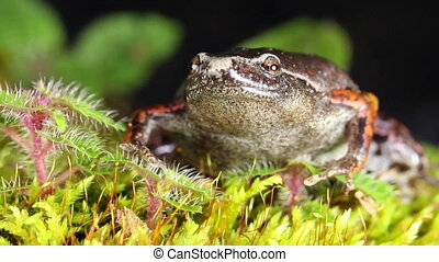 Basslers Humming Frog Chiasmoclei - Shot in Yasuni National...