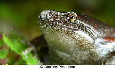 Bassler's Humming Frog (Chiasmoclei - Shot in Yasuni...