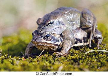 春天, 青蛙, 做, 愛, 青蛙, 時間, 鋪蓆子