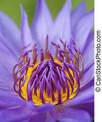 Blue lotus - Closeup blue lotus, lotus is logo for spa and...