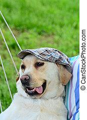 Labrador retriever with hat posing