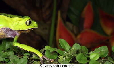 White-lined Monkey Frog (Phyllomedu - Walking along a branch...