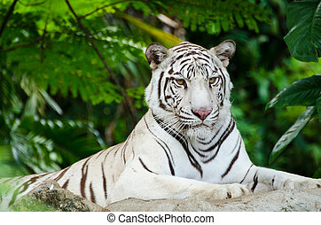 white bengal tiger - White Bengal tiger resting on a rock