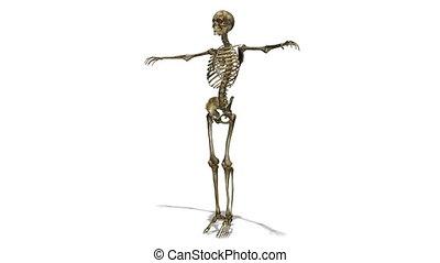 skeleton - image of human body