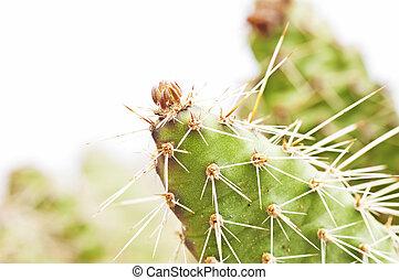 cactus, Opuntia rhodantia