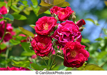 Purple Colored Roses