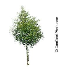 bouleau, arbre, isolé, blanc, fond