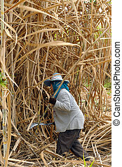 The planter harvested sugarcane. - The planter harvested...
