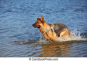 Sheep-dog in water