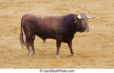 Spanish bulls (toros bravos) in Madrid. Famous from the...
