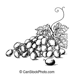 Grapes - Sketch illustration of bunch of grapes