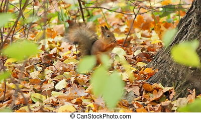 Squirrels, sequence - Squirrels frolic in the autumn forest,...