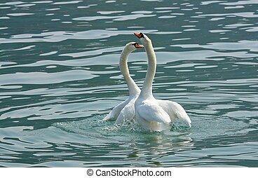 two swan - Two swans in love in the lake