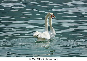 swan in love - Two swans in love in the lake