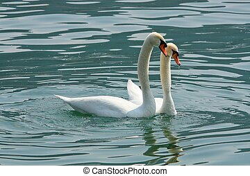 swans in love - Two swans in love in the lake