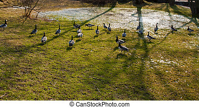 wild goose - bunch of wild gooses near a pawn