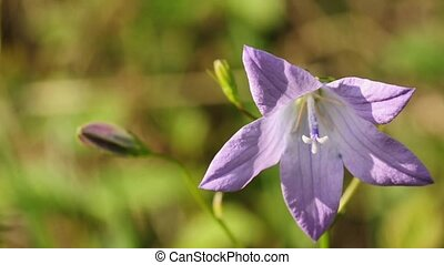 spreading bellflower