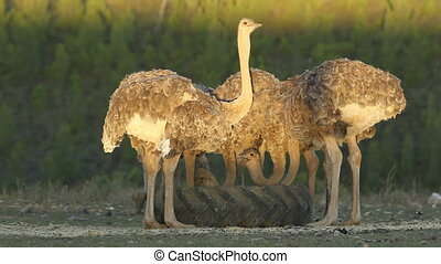 Ostriches Struthio camelus in late afternoon light on an...