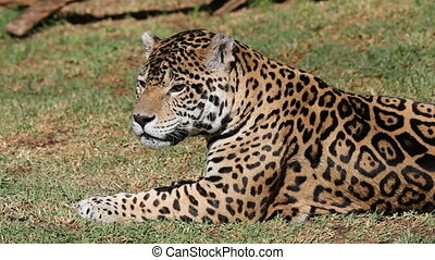 Male jaguar (Panthera onca) lying down and biting at...