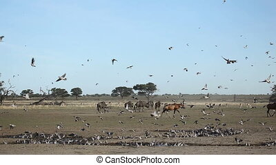 Doves and red hartebeest - Cape turtle doves Streptopelia...