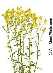 Barbarea vulgaris - cluster yellow flower Barbarea vulgaris...