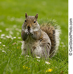 Squirrel on a meadow - squirrel eyeing me in the meadow with...