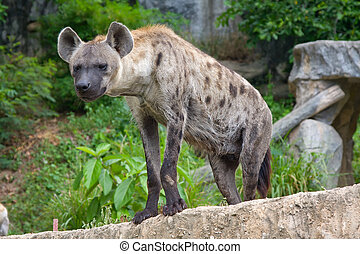 Spotted Hyena - Close-up portrait image of a Spotted Hyena...