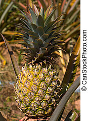 Pineapple plant - Pineapple on the plant tropical fruit in...